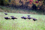 A group of wild turkeys forage around the lake.